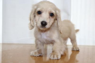 ミニチュアダックスのクリーム(イエロー)の子犬オス、生後2ヵ月画像