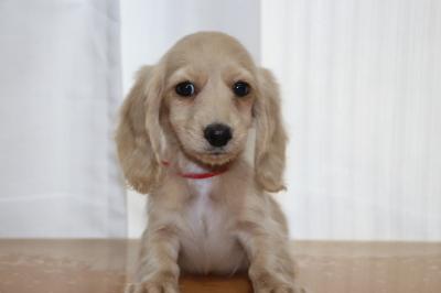 ミニチュアダックスのクリーム(イエロー)の子犬メス、生後2ヵ月画像