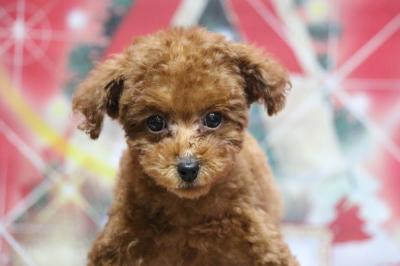 タイニープードルレッドの子犬メス、千葉県習志野市ジェニーちゃん画像