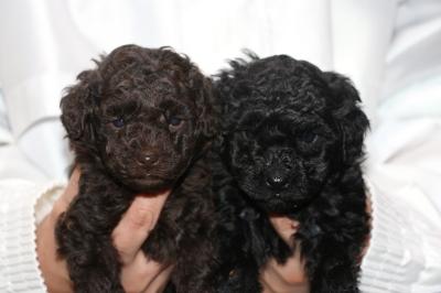 トイプードルの子犬、ブラウンオスブラック(黒色)メス、生後5週間画像