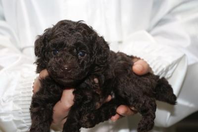 タイニープードルブラウンの子犬オス、生後5週間画像