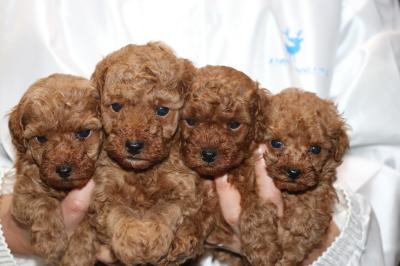 トイプードルレッドの子犬オス3頭メス1頭、生後5週間画像