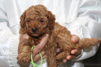 トイプードルレッドの子犬オス、生後5週間画像