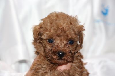 ティーカッププードルレッドの子犬メス、生後5週間画像