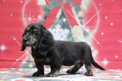 ミニチュアダックスブラッククリーム(イエロー)の子犬メス、東京都港区アルモちゃん画像