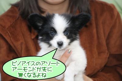 パピヨン白黒の子犬オス、茨城県龍ヶ崎市ピノ君画像