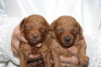 トイプードルレッドの子犬オスメス、生後3週間画像