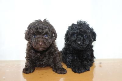 トイプードルの子犬、ブラウンオスブラック(黒色)メス、生後6週間画像