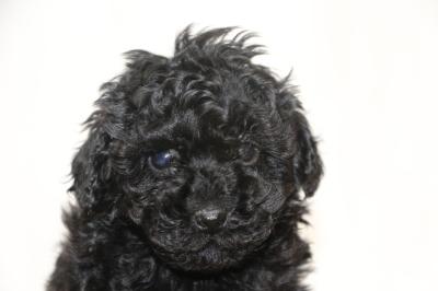 タイニープードルブラック(黒色)の子犬メス、生後6週間画像