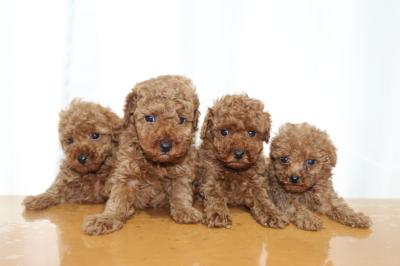 トイプードルレッドの子犬オス3頭メス1頭、生後6週間画像