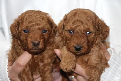 トイプードルレッドの子犬オスメス、生後4週間画像
