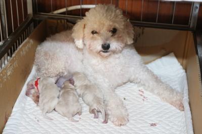 トイプードルホワイト(白色)の出産、産まれたばかりの子犬画像