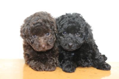 トイプードルの子犬、ブラウンオスブラック(黒色)メス、生後7週間画像