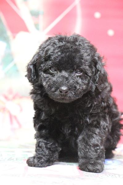 タイニープードルブラック(黒色)の子犬メス、生後7週間画像