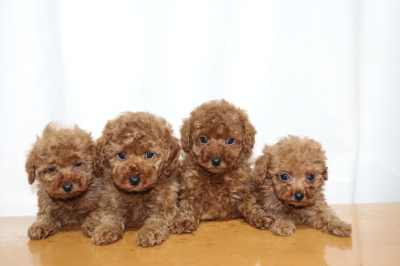 トイプードルレッドの子犬オス3頭メス1頭、生後7週間画像