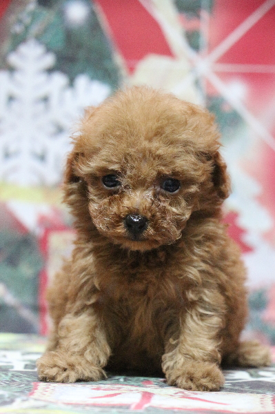 ティーカッププードルレッドの子犬メス、生後7週間画像