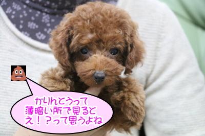 タイニープードルレッドの子犬メス、東京都品川区かりんちゃん画像