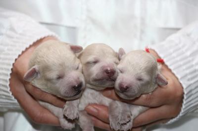 トイプードルホワイト(白色)の子犬オス1頭メス2頭、生後3日画像