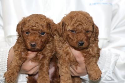 トイプードルレッドの子犬オスメス、生後5週間画像