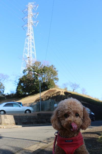 ペットホテル、千葉県船橋市トイプードルのルナちゃん