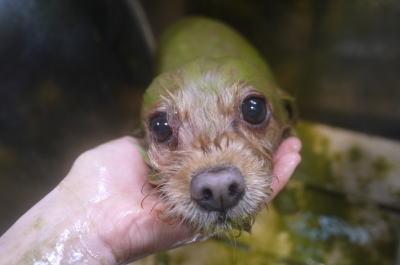 千葉県鎌ヶ谷市のミックス犬のハーブパックセット画像