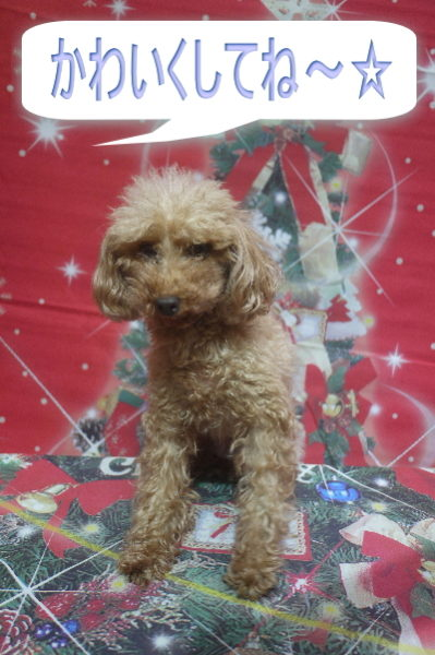 トイプードルブリーダーの成犬,トリミング前画像