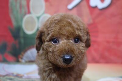 3トイプードルブリーダーの子犬,トリミング画像