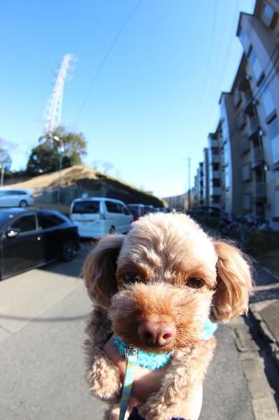 ペットホテル、千葉県船橋市トイプードルのチョコ君画像