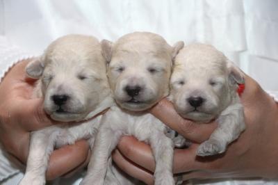 トイプードルホワイト(白色)の子犬オス1頭メス2頭、生後1週間画像