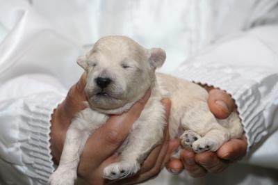 トイプードルホワイト(白色)の子犬オス、生後1週間画像
