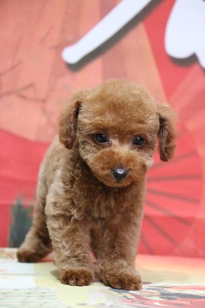 タイニープードルレッドの子犬オス、神奈川県横浜市ヤマト君画像
