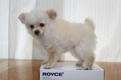 チワプークリームの子犬メス、生後3ヵ月半画像