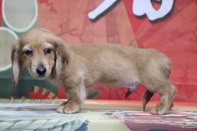 ミニチュアダックスレッドの子犬オス、生後3ヵ月画像