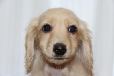 ミニチュアダックスイエロー(クリーム)の子犬オス、生後3ヵ月画像