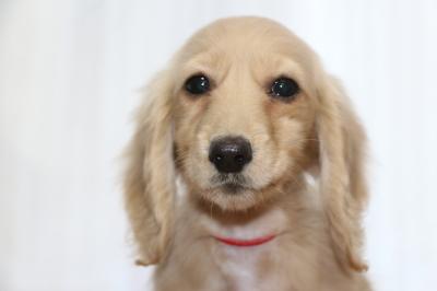 ミニチュアダックスイエロー(クリーム)の子犬メス、生後3ヵ月画像