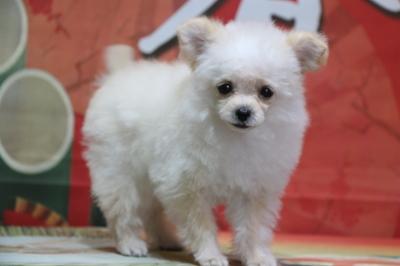 チワプーのクリームの子犬メス、神奈川県鎌倉市イチゴちゃん画像