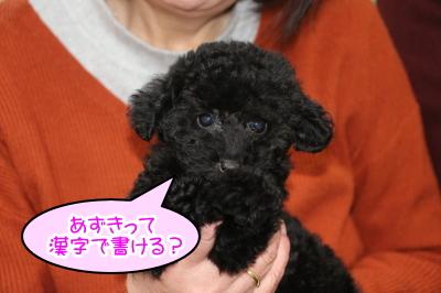 タイニープードルブラックの子犬メス、福島県福島市あずきちゃん