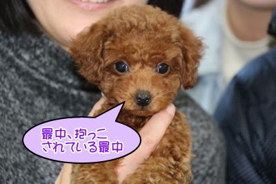 タイニープードルレッドの子犬オス、千葉県市川市モナカ君画像