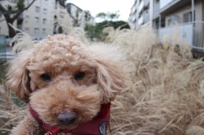 ペットホテル、千葉県千葉市船橋市トイプードルのピース君画像