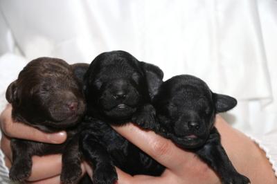 トイプードルの子犬、ブラウンオス1頭ブラック(黒色)メス2頭、生後1週間画像