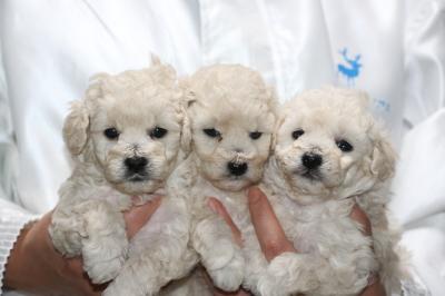 トイプードルホワイト(白色)の子犬オス1頭メス2頭、生後5週間画像