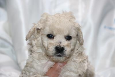 トイプードルホワイト(白色)の子犬オス、生後5週間画像