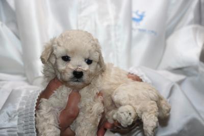 トイプードルホワイト(白色)の子犬メス、生後5週間画像