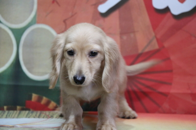 ミニチュアダックスイエロー(クリーム)の子犬メス、北海道札幌市のブリーダー画像