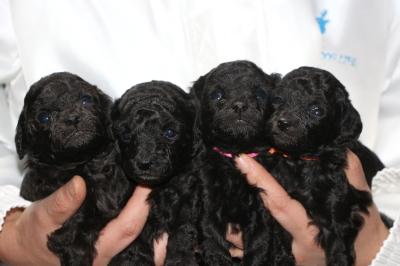 トイプードルシルバーの子犬メス4頭、生後3週間画像