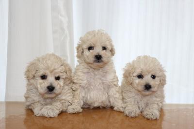 トイプードルホワイト(白色)の子犬オス1頭メス2頭、生後6週間画像