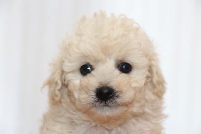 トイプードルホワイト(白色)の子犬メス、生後6週間画像