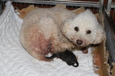 トイプードルホワイト(白色)産まれたばかりのシルバー子犬画像