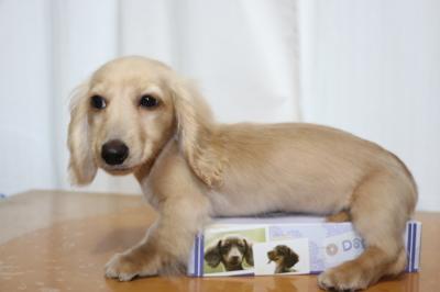 ミニチュアダックスイエロー(クリーム)の子犬オス、生後4ヵ月画像