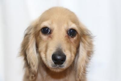 ミニチュアダックスレッドの子犬オス、生後4ヵ月画像